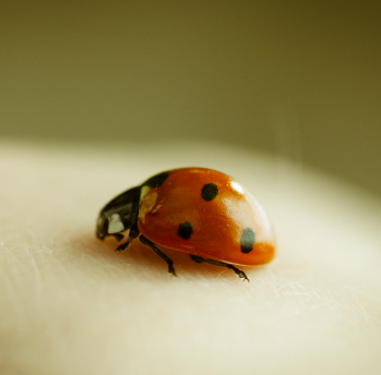 Natural Way to Get Rid of Ladybugs Pest Control