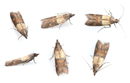 Pantry moth strosity planning poor for Pantry moths