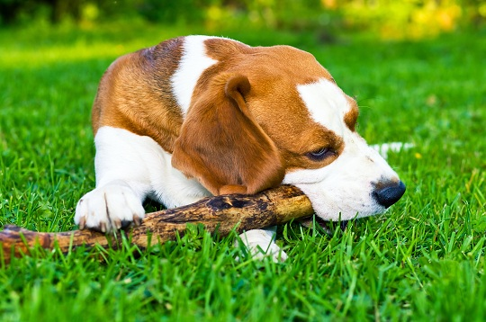 Dogs and lawn fertilizer