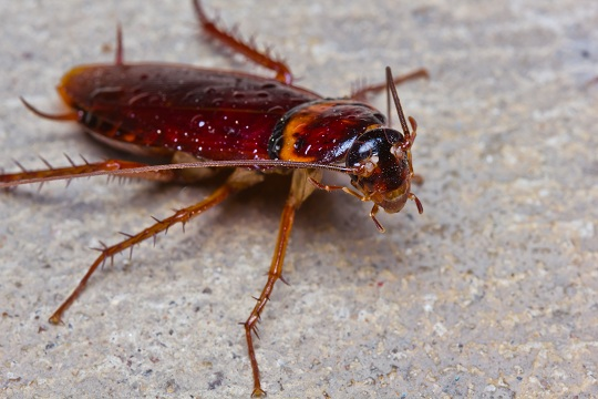 Home Remedies for Killing Roaches - Pest Control