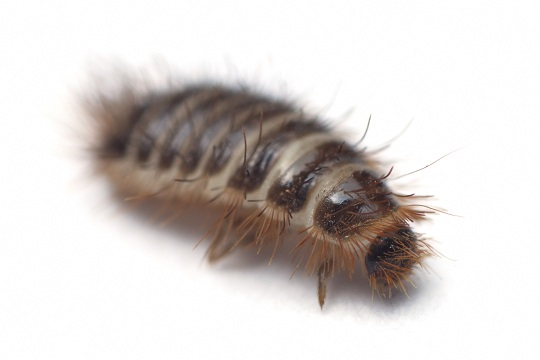 Safe Ways to Kill Carpet Beetles - Pest Control