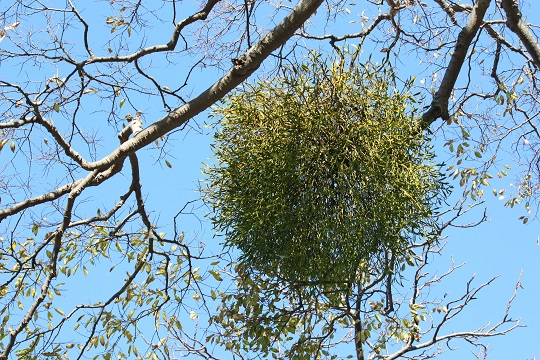 How to Get Rid of Mistletoe - Landscapers