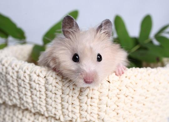 Illness Symptoms: Hamster Illness Symptoms