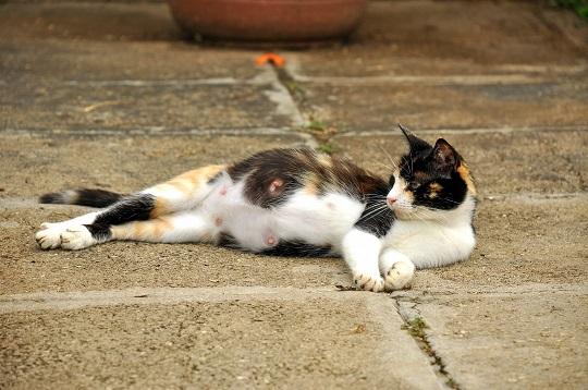 Pics Of Pregnant Cats 86