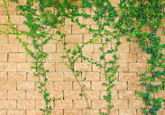 Vines Growing On A Brick House Landscapers Seva Call Blog