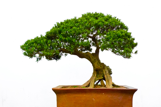 types of bonsai plants images