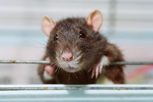 pet rats eat veterinarians talk local blog